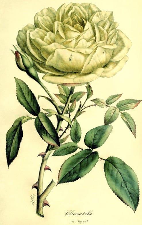 Rosa 'Chromatella'. En fransk klätterros som introducerades på 1840-talet och blev mycket populär, även känd som 'Cloth of Gold'. Nils Ericsson som besökte Christinehof 1870 beskriver hur rosen täckte hela taket i ett av växthusen, en yta av 12 x 4 meter.