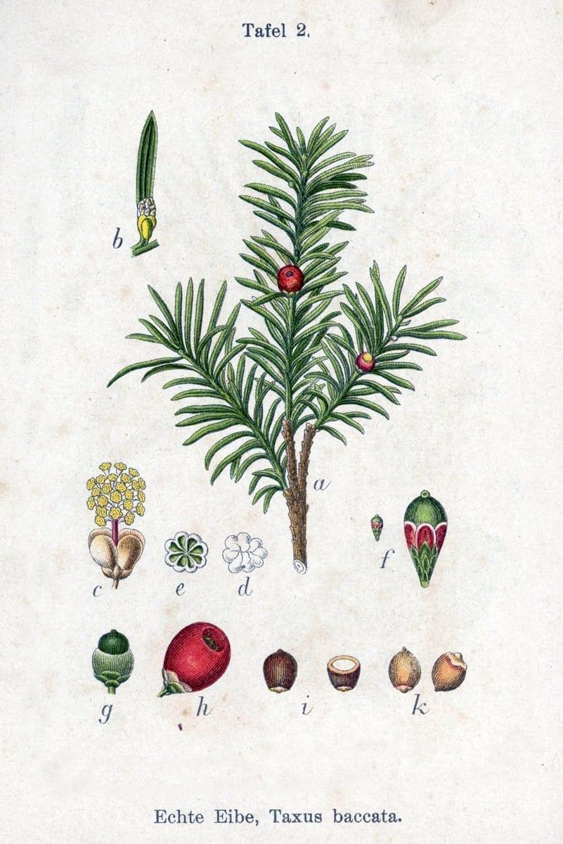 Idegran, illustration.